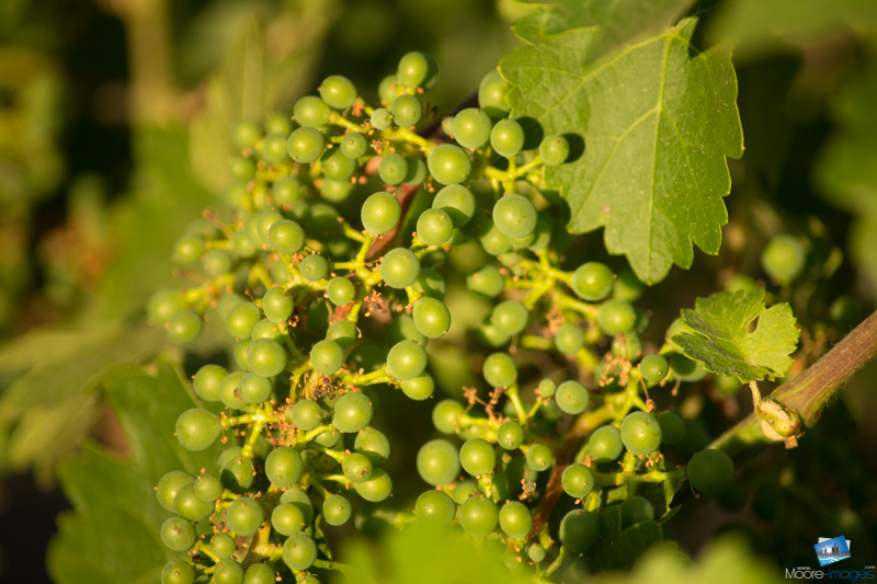 Grapes from a Napa Valley vineyard
